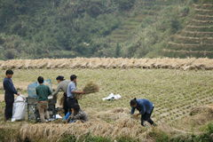 Landwirte, die arbeiten, um ihren ungeschälten Reis unter Verwendung der Maschine zu ernten Stockbilder