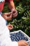Landwirte, die Blaubeeren ernten Stockbilder