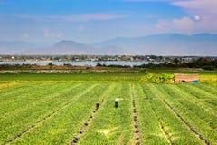 Landwirte, die an grünen Wassermelonen-Feldern arbeiten lizenzfreies stockfoto