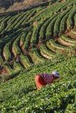 Landwirte, die im Erdbeerplantagenbauernhof arbeiten Stockbild