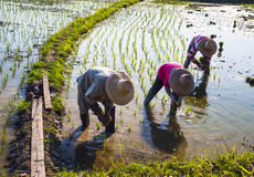 Landwirte, die Reis auf dem Paddygebiet pflanzend arbeiten Stockbilder