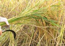 Landwirte, die Reis auf dem Reisgebiet in Thailand ernten stockfotografie
