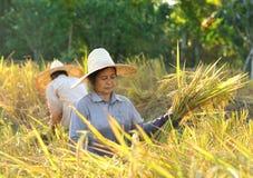 Landwirte, die Reis auf dem Reisgebiet Thailand ernten Lizenzfreies Stockfoto