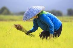 Landwirte, die Reis pflanzen lizenzfreie stockfotos
