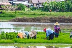 Landwirte, die Reis pflanzend arbeiten Lizenzfreie Stockfotos