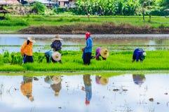 Landwirte, die Reis pflanzend arbeiten Stockbilder