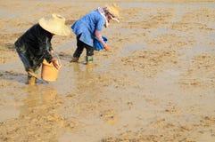 Landwirte, die Reissamen säen Stockfoto