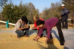 Landwirte, die Weizen auf trocknendem Boden überprüfen Lizenzfreies Stockfoto