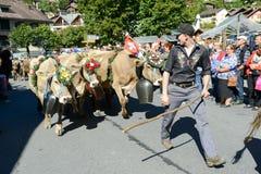 Landwirte mit einer Herde von Kühen auf dem jährlichen Transhumance bei Engelb Stockbild