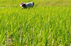 Landwirte pflanzen Reis Stockfotografie