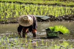 Landwirte pflanzen Reis im Bauernhof stockbilder