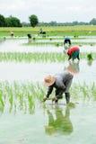 Landwirte pflanzen Reis im Bauernhof Stockfoto
