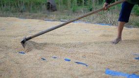 Landwirte verteilen Reis unter Verwendung einer Rührstange stock video