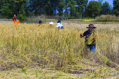 Landwirternte Stockfotos