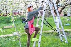 Landwirtfrau oben auf einer Leiter f?r bl?henden Apfelbaum der Sorgfalt an einem reizenden Fr?hlingstag lizenzfreie stockfotos