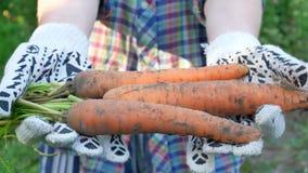 Landwirthände, die geerntete reife Karotten halten stock video footage