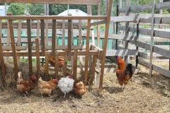 Landwirthühnerstall Huhn und Brandhahn Russische inländische Bauernhofvögel stockfoto