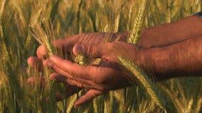 Landwirthand auf dem Weizengebiet stock video footage