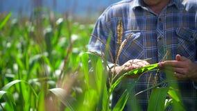 Landwirtmann auf dem Maisgebiet Männliche Landwirthände, die Qualität von Anlagen des organischen Mais auf dem Gebiet überprüfen  stock video footage