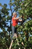 Landwirtsammeln-Aprikosenfrucht im Obstgarten Stockbild