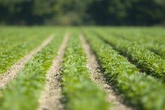 Ordentliche Reihen der neuen Grünpflanzen Stockfoto