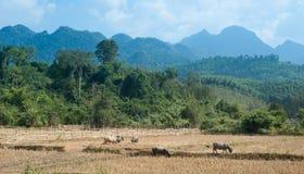 Landwirtschaft in Asien Wilder Wald, Berge und Vieh Stockfotografie