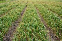Landwirtschaft - Bearbeitung des wachsenden Knoblauchs ist bereit zu ernten Lizenzfreie Stockbilder