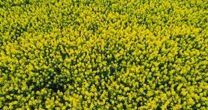 Landwirtschaft - Canolablume, Rapsfeld stock video
