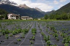 Landwirtschaft in der Schweiz. Lizenzfreies Stockbild