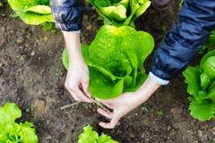 Landwirtschaft des Kopfsalates Lizenzfreie Stockfotografie