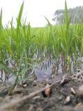 Landwirtschaft, die in der Monsunzeit auf dem Wassergebiet bewirtschaftet lizenzfreie stockbilder