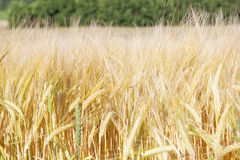 Landwirtschaft - Feld des Roggens am sonnigen Tag stockfoto