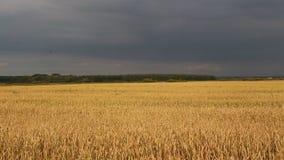 Landwirtschaft, Feld, Ohren des Weizens stock video