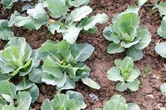 landwirtschaft Foto des wachsenden jungen Kohls im Garten Stockbilder