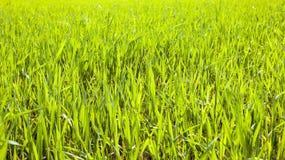 landwirtschaft getreide Frühling Stockbilder