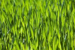 landwirtschaft getreide Frühling Lizenzfreies Stockfoto