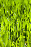 landwirtschaft getreide Frühling Stockfotografie