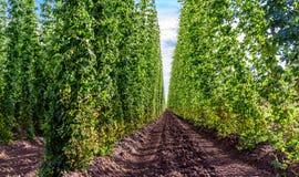 Landwirtschaft - Hopfen stockbild