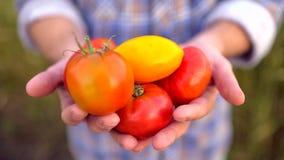 Landwirtschaft und Bearbeitung Mannlandwirt, der Gemüse, Tomate, der Markt des Landwirts, Tomaten, biologische Landwirtschaft, Ba stock footage