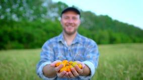 Landwirtschaft und Bearbeitung Porträt des Mannlandwirts Gemüse, Tomate, der Markt des Landwirts, Tomatenkirsche zeigend, organis stock footage