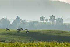 Landwirtschaft von Landschaft mit Kühen Stockfotografie