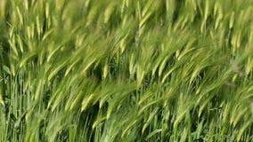 Landwirtschaft - Wind - Ernte der Gerste stock video