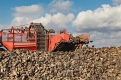 Landwirtschaft, Zuckerrübe, Wurzel, die auf dem Gebiet erntet Lizenzfreie Stockbilder