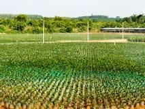landwirtschaftlich Ölpalmen-Plantagensämlinge mit bifid Blättern an der Kindertagesstätte mit Springer wässern im Süden von Thail stockfoto