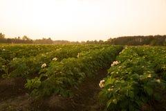Landwirtschaftlich - Kartoffelackerbauernhof in der Abendzeit stockfotos