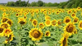 Landwirtschaftliche Bearbeitung der Sonnenblume auf dem Gebiet Russland stock video