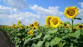 Landwirtschaftliche Bearbeitung der Sonnenblume auf dem Gebiet Russland stock video footage