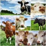Landwirtschaftliche Collage mit Kühen Stockbild