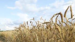 Landwirtschaftliche Landschaft Das Weizenfeld am Sommertag Reife Ohren bewegen auf einen Wind wellenartig stock video footage
