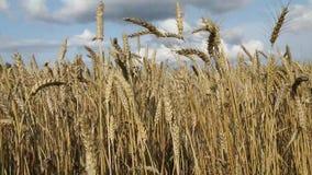 Landwirtschaftliche Landschaft Das Weizenfeld am Sommertag Reife Ohren bewegen auf einen Wind wellenartig stock footage